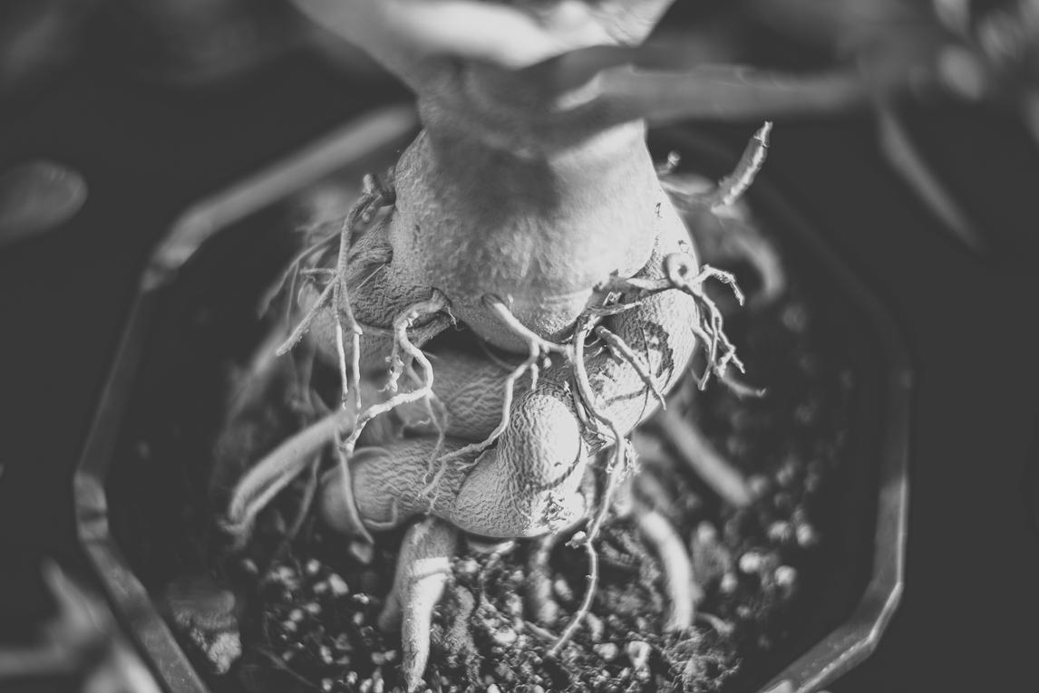 rozimages - photographie évènementielle - Expo Vente de Végétaux Rares 2015 - racines d'une rose du désert, fines et enchevêtrées - St Elix le Chateau, France
