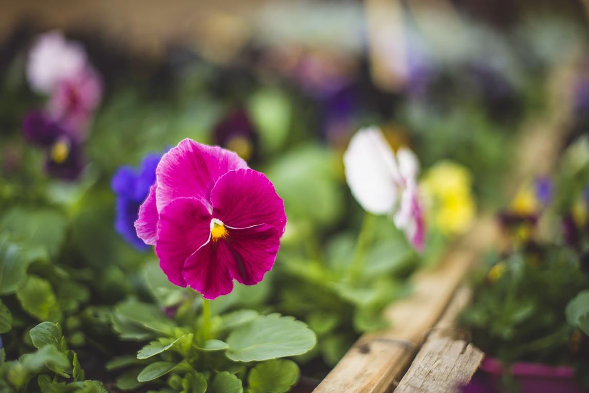 rozimages - photographie évènementielle - Expo Vente de Végétaux Rares 2015 - fleurs pensées - St Elix le Chateau, France