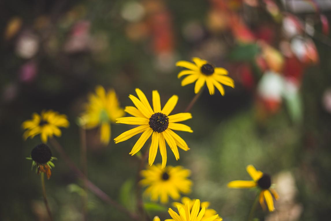 rozimages - photographie évènementielle - Expo Vente de Végétaux Rares 2015 - fleur rudbeckia - St Elix le Chateau, France