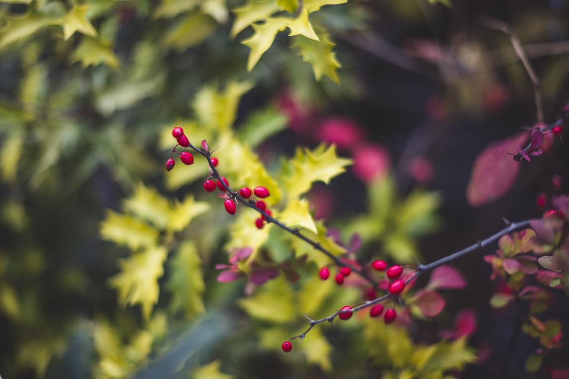 rozimages - photographie évènementielle - Expo Vente de Végétaux Rares 2015 - feuilles jaunes de houx et baies rouges - St Elix le Chateau, France