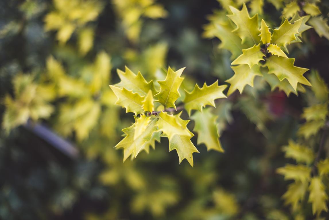rozimages - photographie évènementielle - Expo Vente de Végétaux Rares 2015 - feuilles jaunes de houx - St Elix le Chateau, France