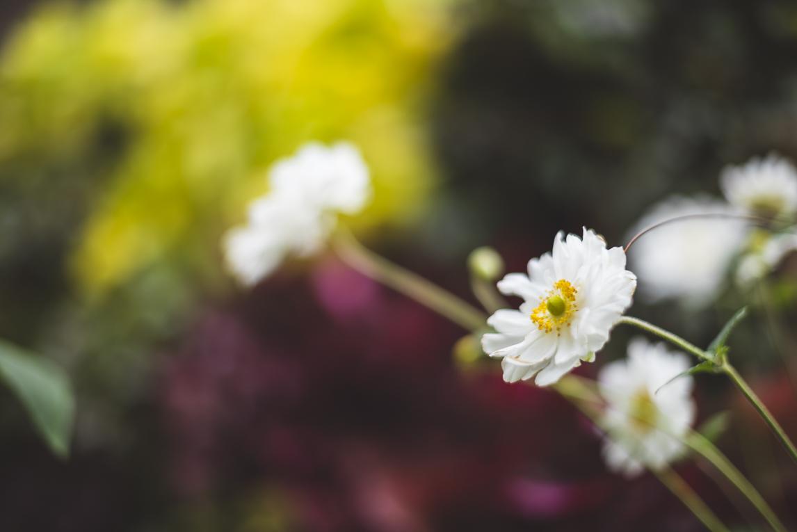 rozimages - photographie évènementielle - Expo Vente de Végétaux Rares 2015 - gros plan sur fleurs blanches avec fond coloré - St Elix le Chateau, France