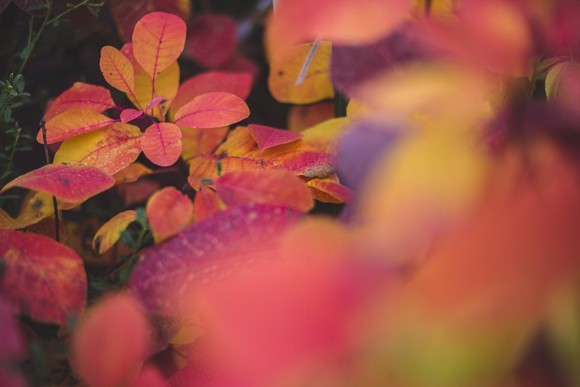 rozimages - photographie évènementielle - Expo Vente de Végétaux Rares 2015 - plante cotinus grace - St Elix le Chateau, France