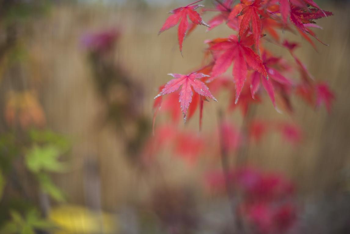 rozimages - photographie évènementielle - Expo Vente de Végétaux Rares 2015 - érable du japon - St Elix le Chateau, France