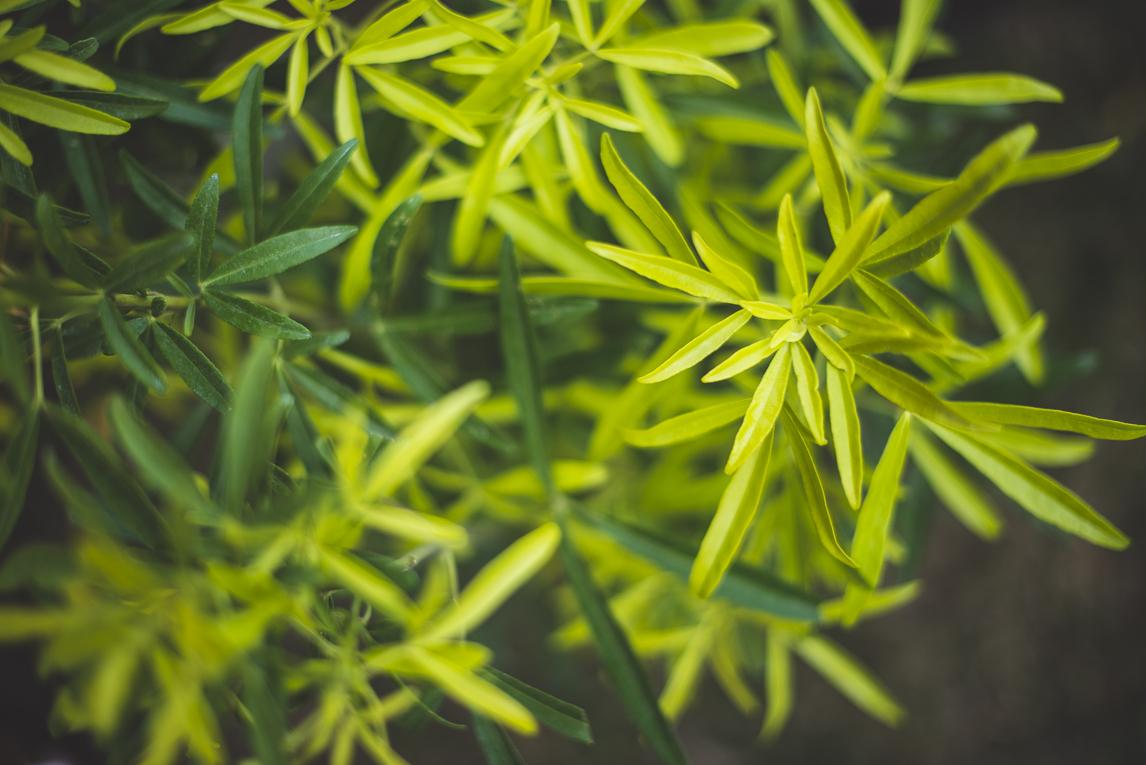 rozimages - photographie évènementielle - Expo Vente de Végétaux Rares 2015 - feuilles vertes - St Elix le Chateau, France
