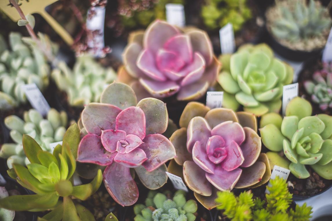 rozimages - photographie évènementielle - Expo Vente de Végétaux Rares 2015 - petites plantes succulentes - St Elix le Chateau, France
