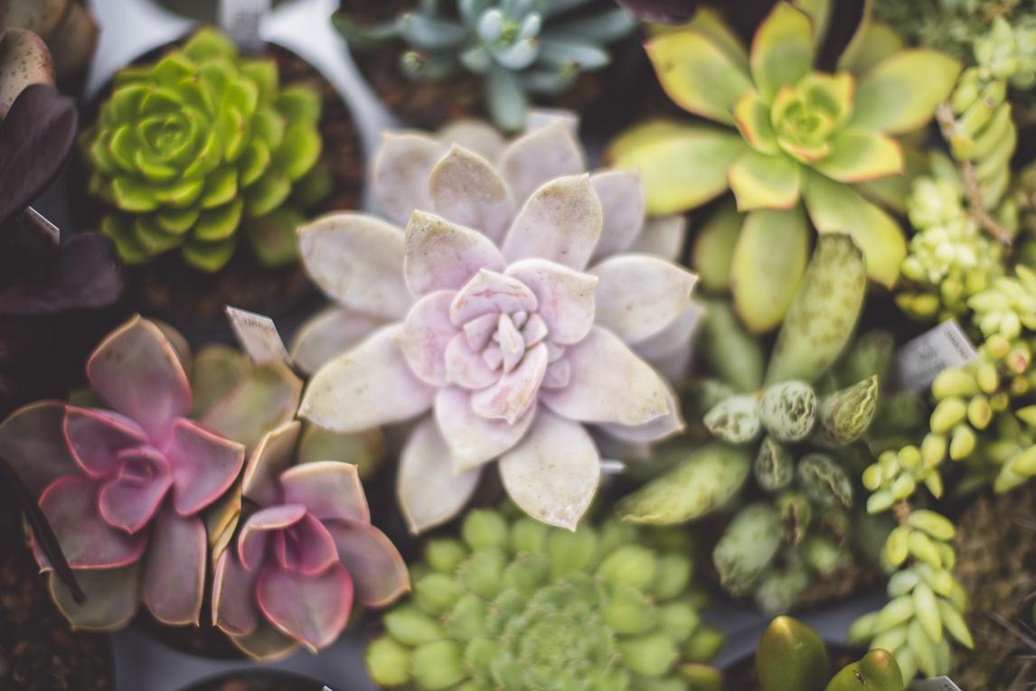 rozimages - photographie évènementielle - Expo Vente de Végétaux Rares 2015 - petites succulentes - St Elix le Chateau, France