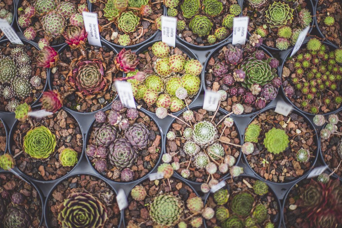 rozimages - photographie évènementielle - Expo Vente de Végétaux Rares 2015 - rangées de petites plantes succulentes en pots - St Elix le Chateau, France