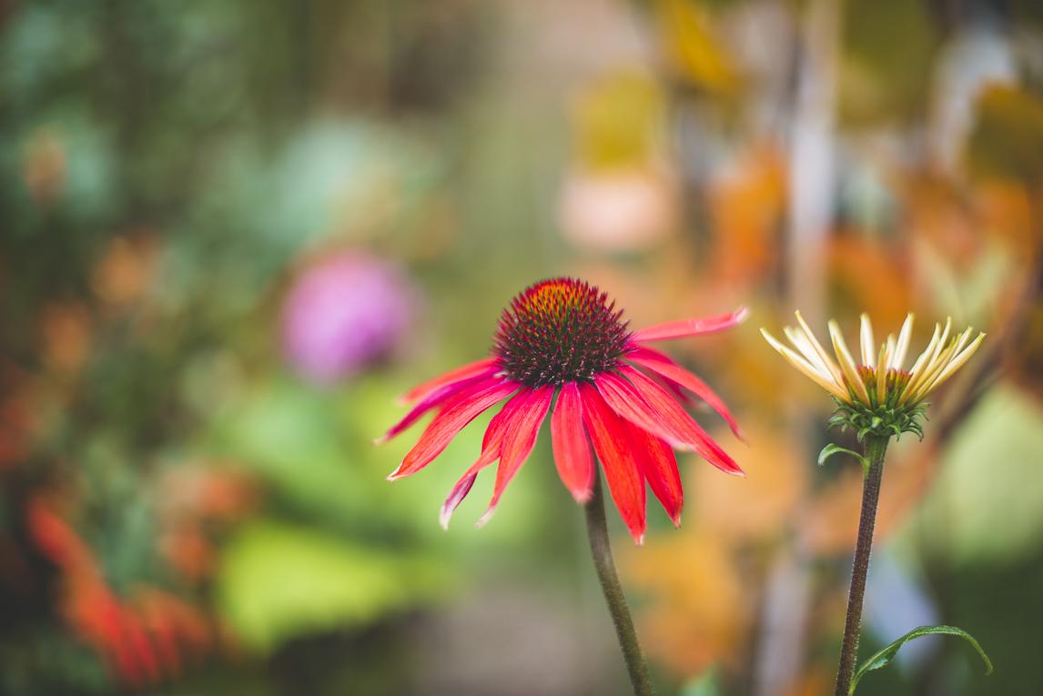 rozimages - photographie évènementielle - Expo Vente de Végétaux Rares 2015 - gros plan sur fleur echinacea - St Elix le Chateau, France