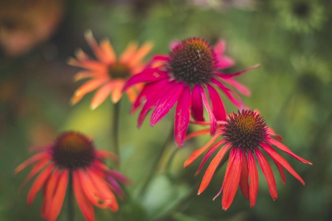rozimages - photographie évènementielle - Expo Vente de Végétaux Rares 2015 - gros plan sur fleurs echinacea - St Elix le Chateau, France