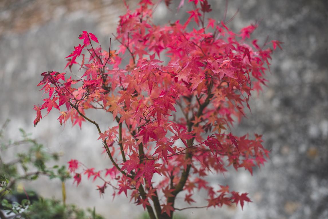 rozimages - photographie évènementielle - Expo Vente de Végétaux Rares 2015 - bonsai avec feuilles roses - St Elix le Chateau, France