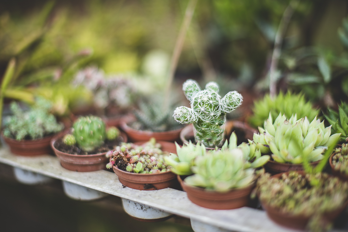 rozimages - photographie évènementielle - Expo Vente de Végétaux Rares 2015 - rangées de mini cactus et plantes succulentes - St Elix le Chateau, France