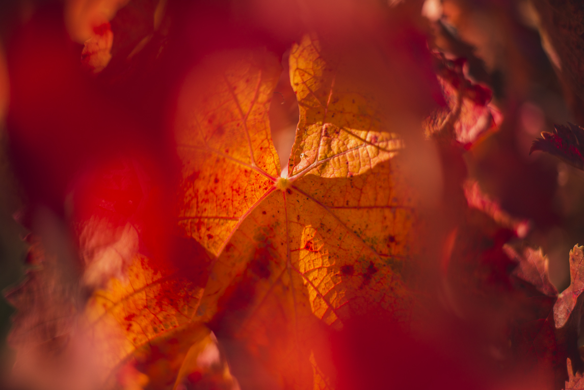 rozimages - travel photography - red vine leaves - Haute-Garonne, France