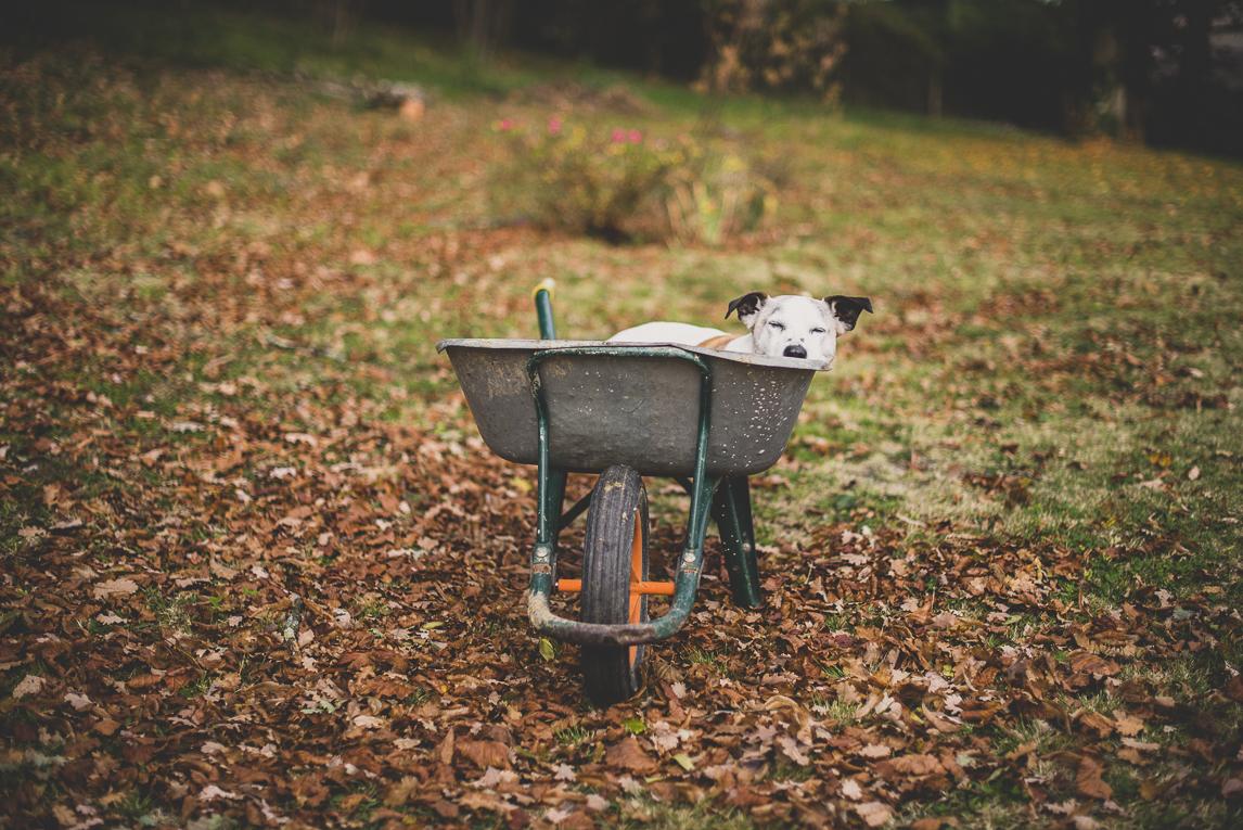 rozimages - travel photography - dog in wheel barrow - Mondavezan, France