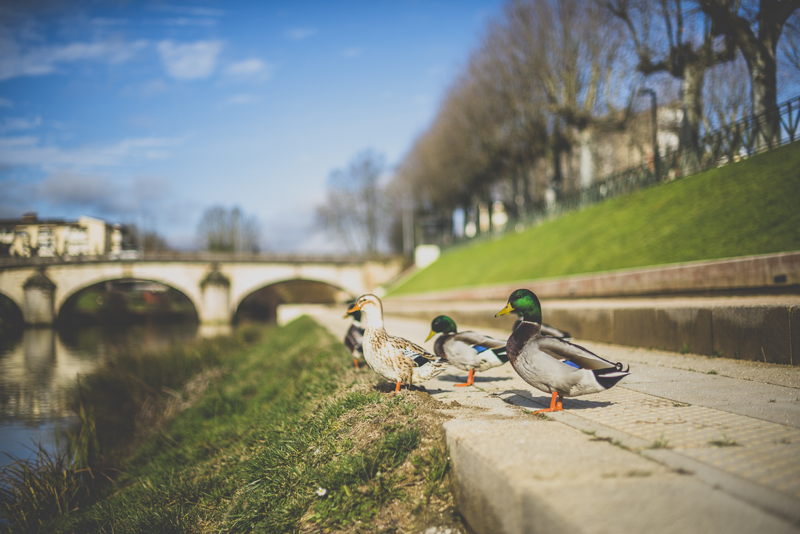 Photo of the French town of Auch - ducks along the river - Auch Photographer