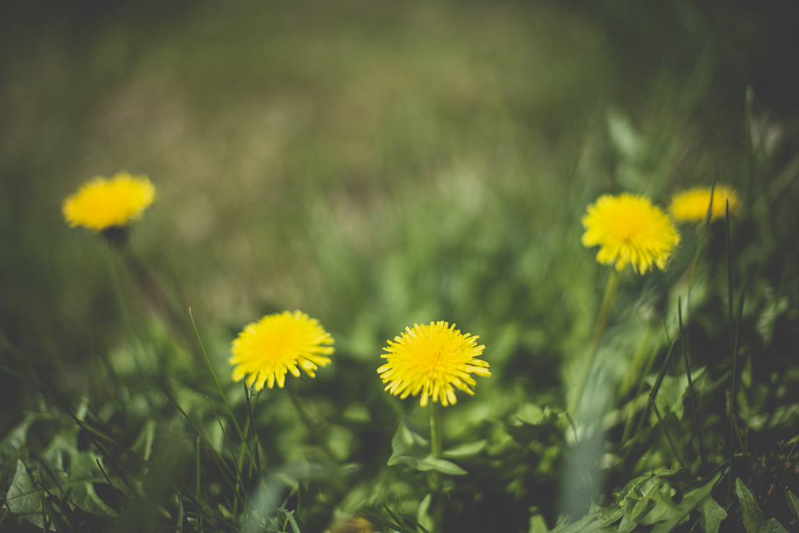 Photo of the French town of Saint-Gaudens - dandelion flowers and grass - Saint-Gaudens Photographer