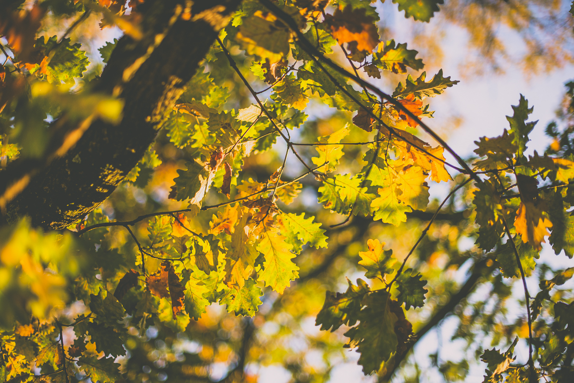 Photography of autumn colours 2016 - yellow and orange leaves from oak tree - Nature Photographer