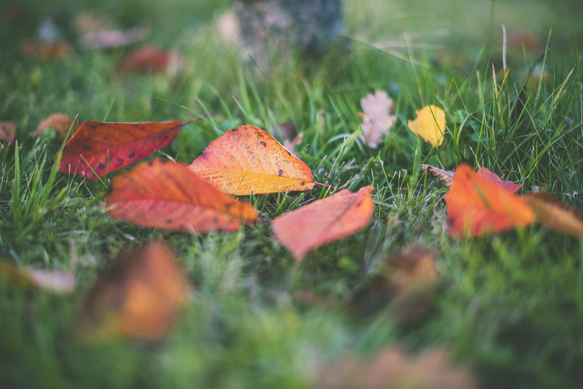 Photography of autumn colours 2016 - red leaves fallen onto grass - Nature Photographer