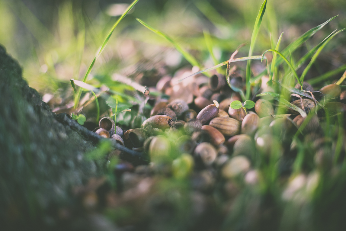 Photography of autumn colours 2016 - acorns on grass - Nature Photographer
