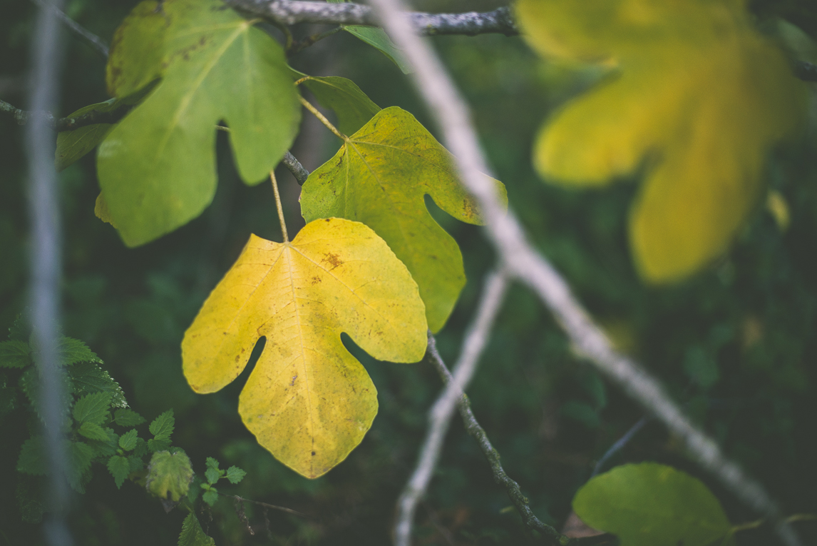 Photography of autumn colours 2016 - yellow and green leaves from fig tree - Nature Photographer