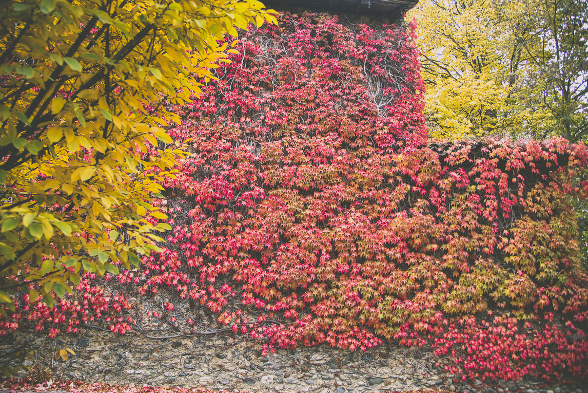 Photography of autumn colours 2016 - wall with red vine inbetween yellow leaves - Nature Photographer