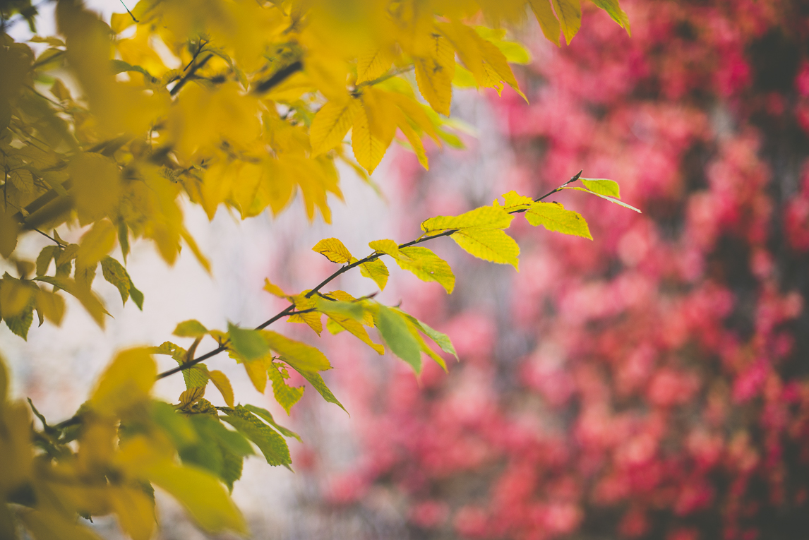 Photography of autumn colours 2016 - yellow leaves from chestnut tree in front of red vine - Nature Photographer