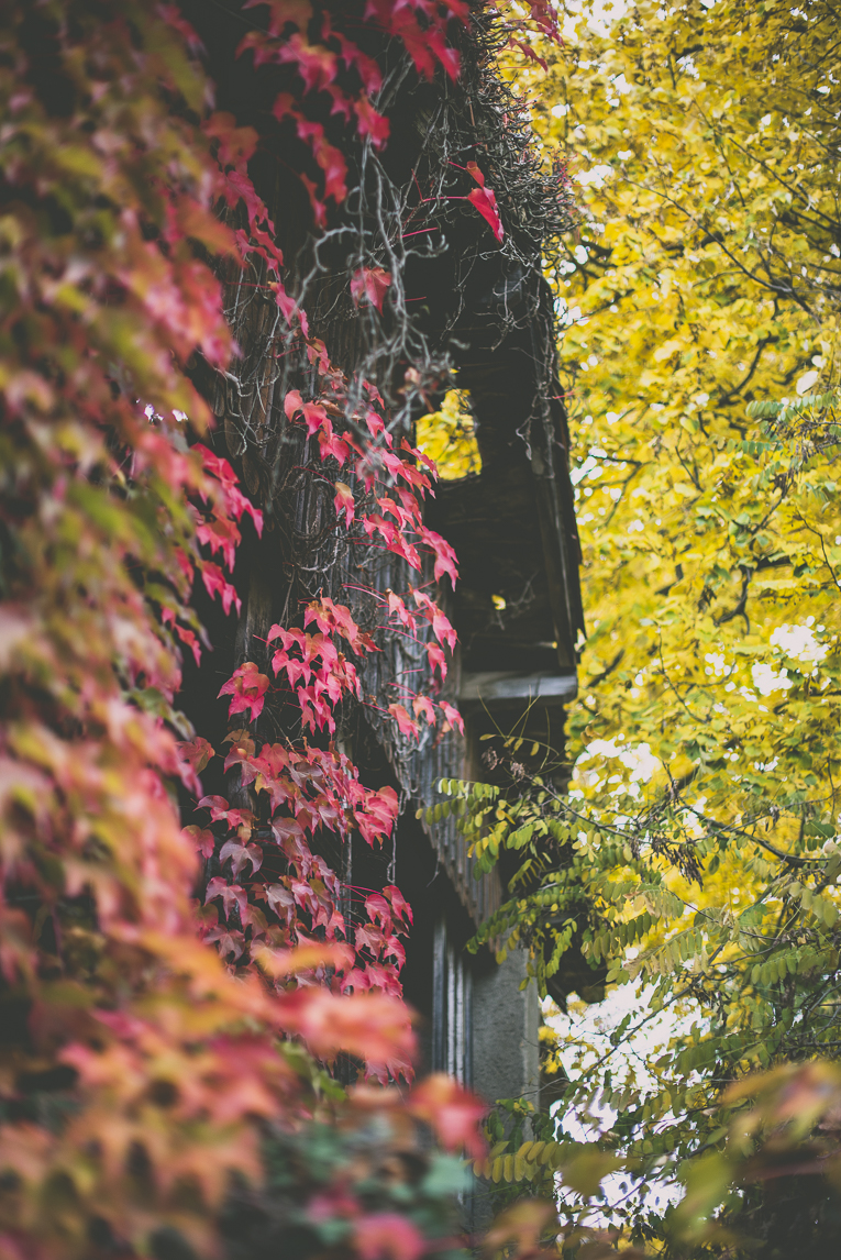 Photography of autumn colours 2016 - red vine and yellow leaves wrapping building - Nature Photographer