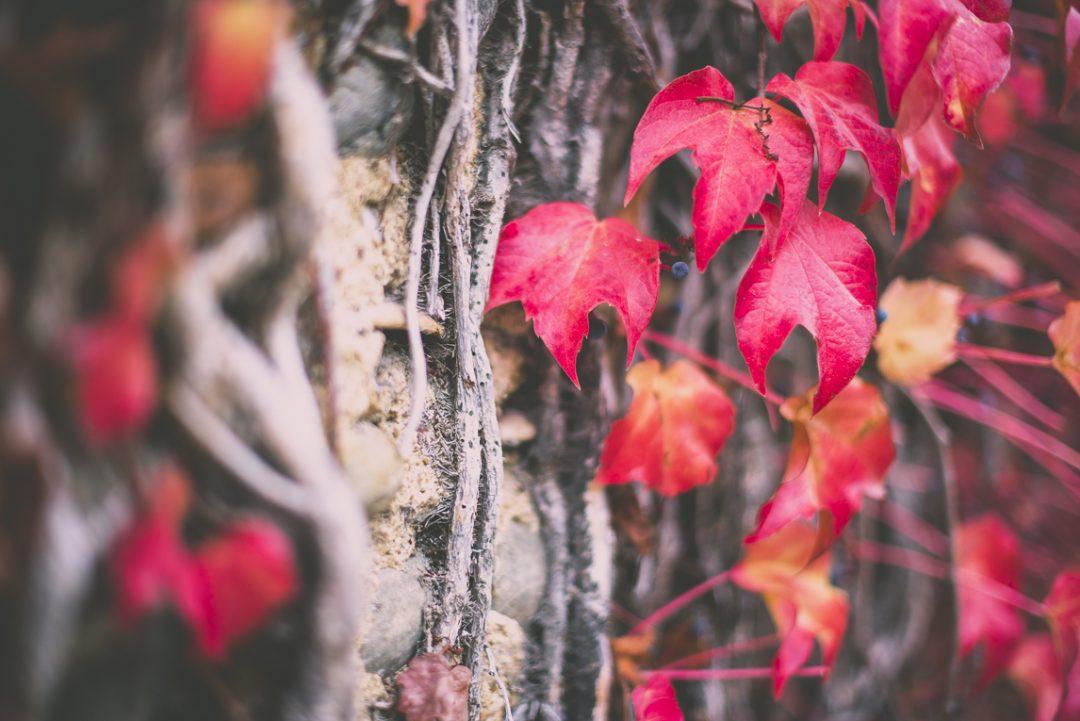 Reportage couleurs automne 2016 - vigne rouge - Photographe de nature