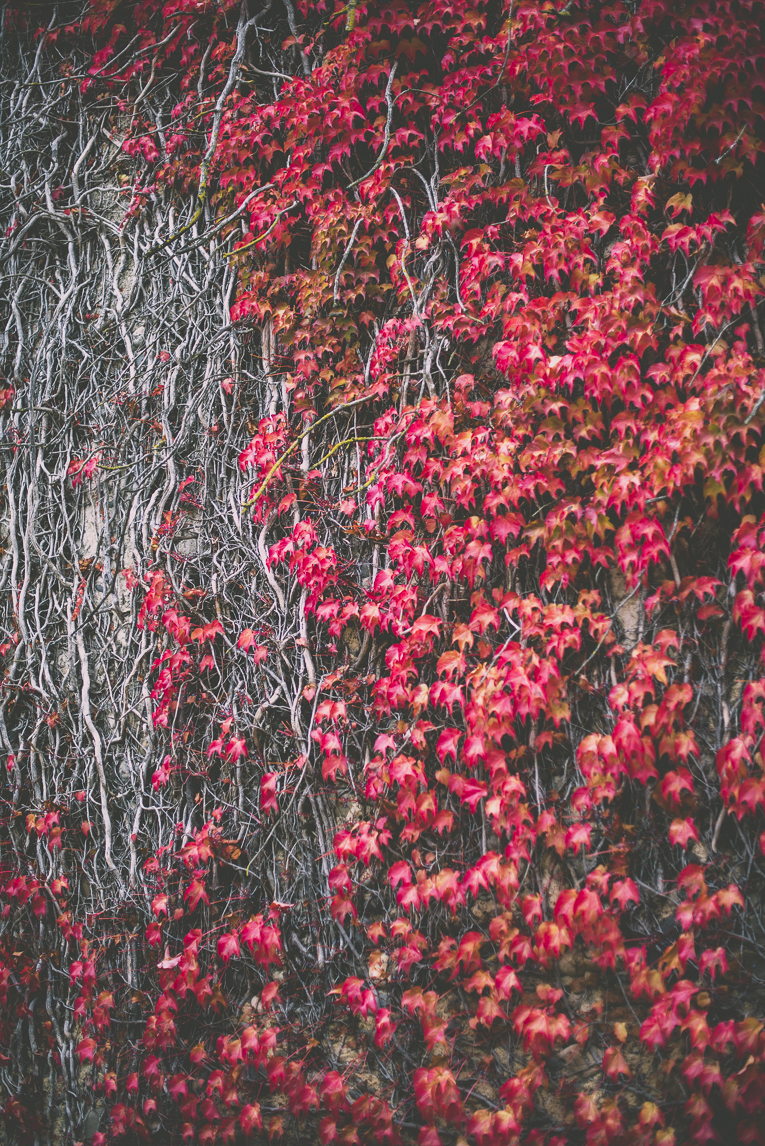 Photography of autumn colours 2016 - red vine on wall - Nature Photographer
