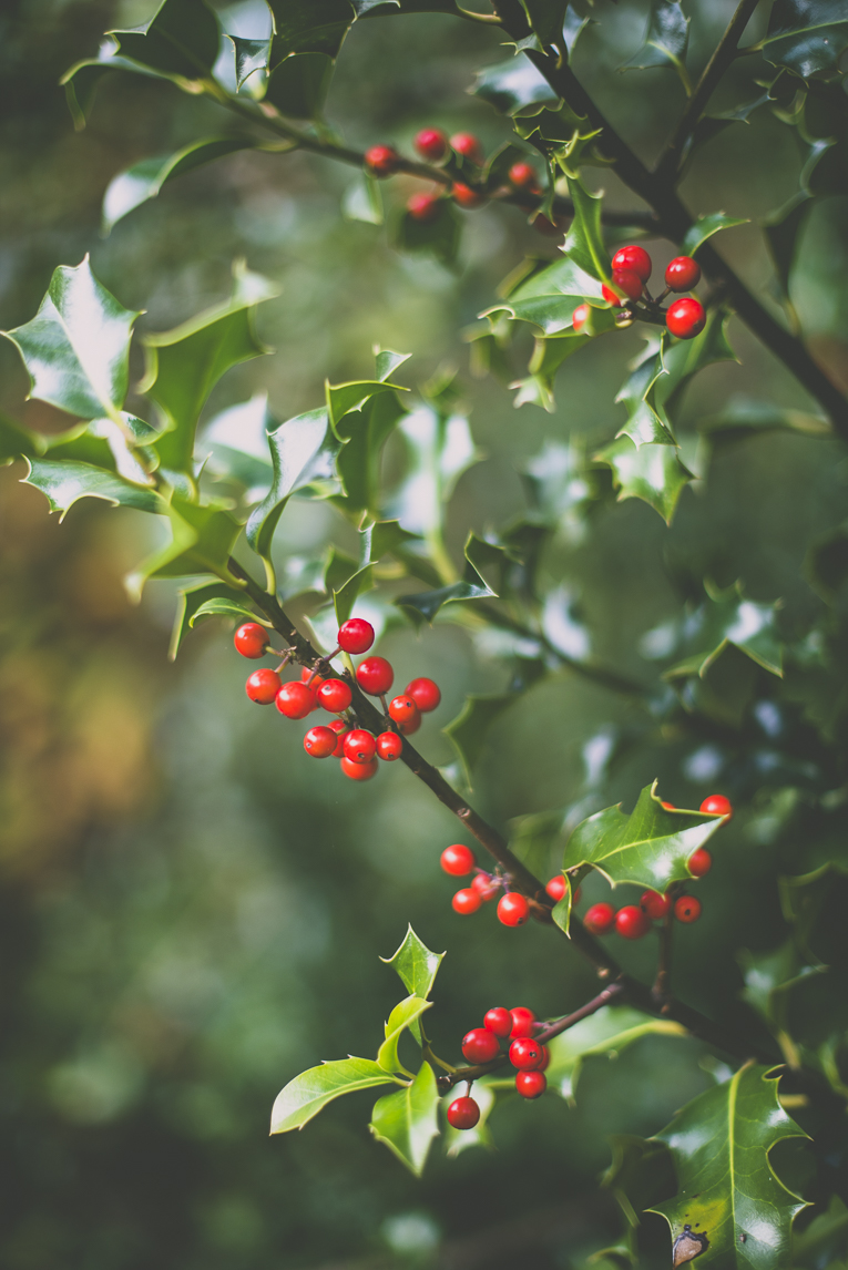 Photography of autumn colours 2016 - holly leaves and fruits - Nature Photographer