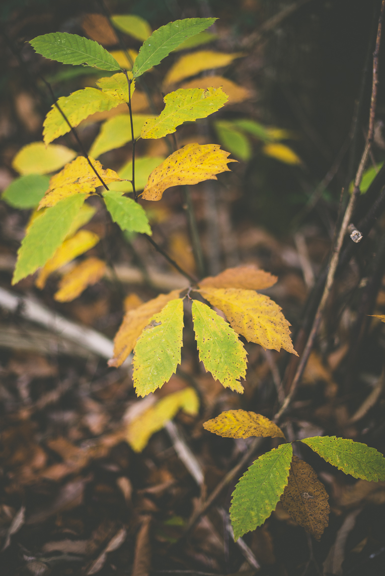 Photography of autumn colours 2016 - chesnut leaves - Nature Photographer