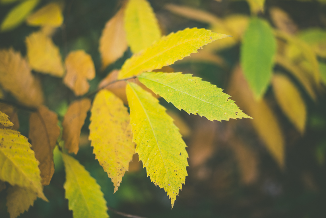Photography of autumn colours 2016 - coloured leaves from chestnut tree - Nature Photographer