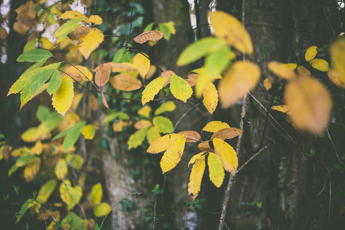Photography of autumn colours 2016 - green, yellow and orange leaves from chestnut tree - Nature Photographer