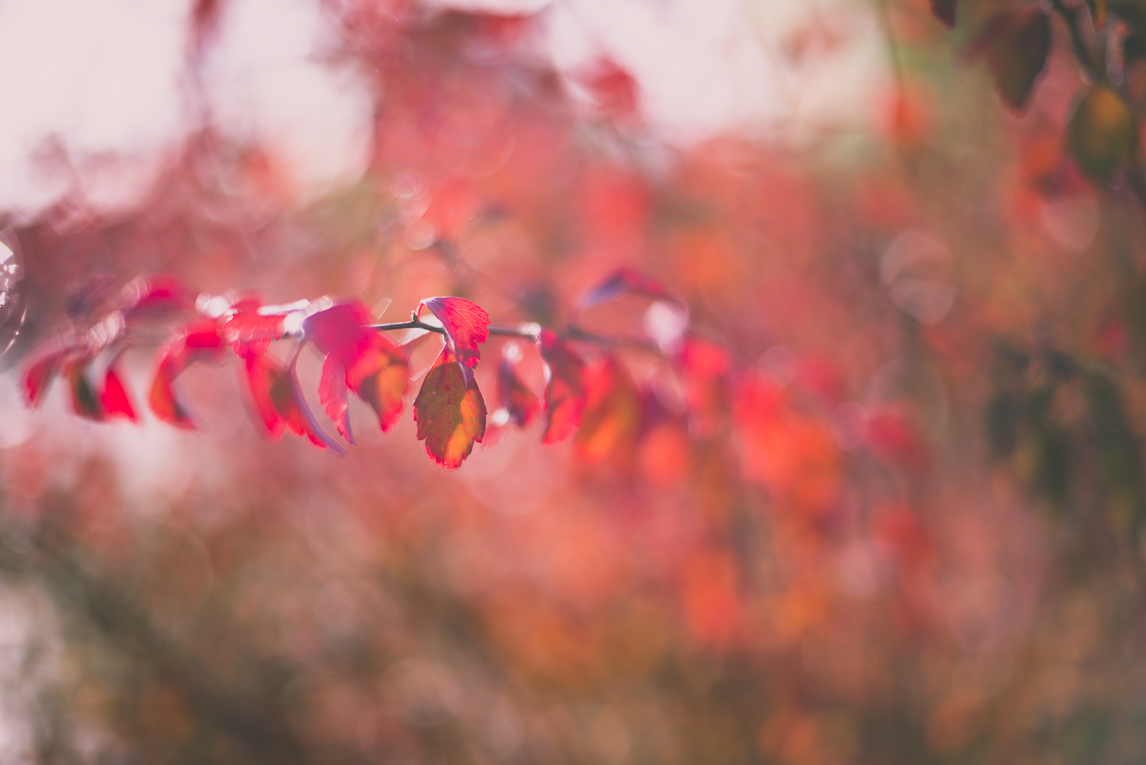 Photography of autumn colours 2016 - red leaves from shrub - Nature Photographer