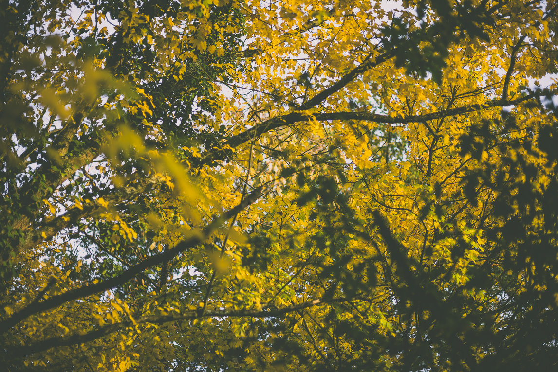 Photography of autumn colours 2016 - yellow and green leaves at top of trees - Nature Photographer