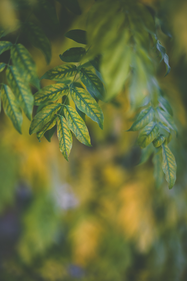 Photography of autumn colours 2016 - yellow and green leaves from wysteria - Nature Photographer
