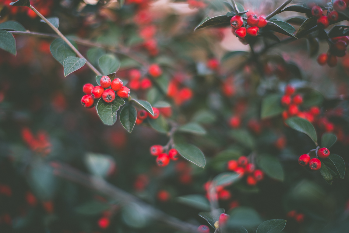Photography of autumn colours 2016 - red berries - Nature Photographer