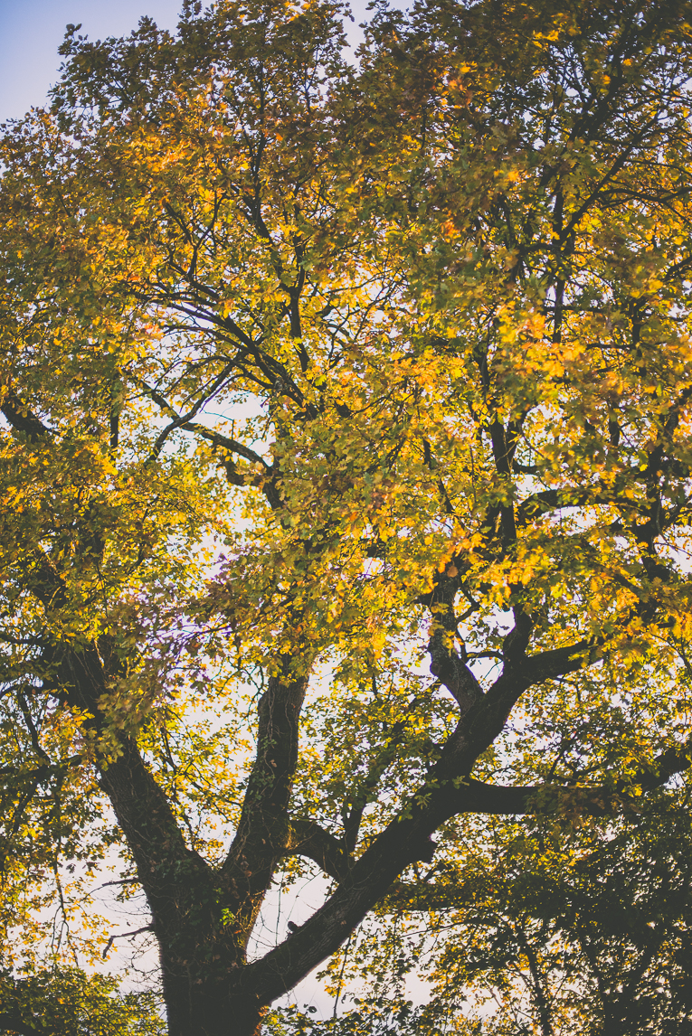 Photography of autumn colours 2016 - oak tree with orange leaves - Nature Photographer