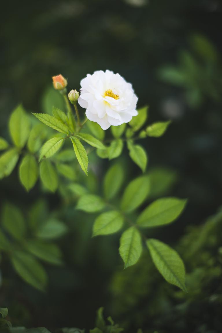 Séance photo chambres d'hôtes Ariège - rose blanche - Photographe B&B