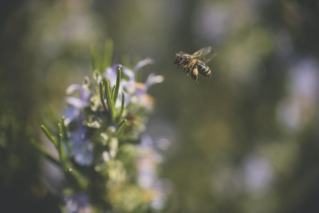 Printemps au jardin - abeille en vol - Photographe Haute Garonne