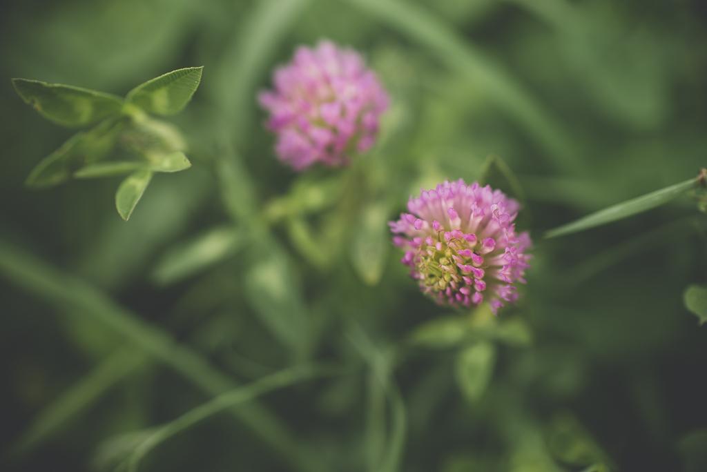 Printemps au jardin - fleur de trèfle - Photographe Haute Garonne