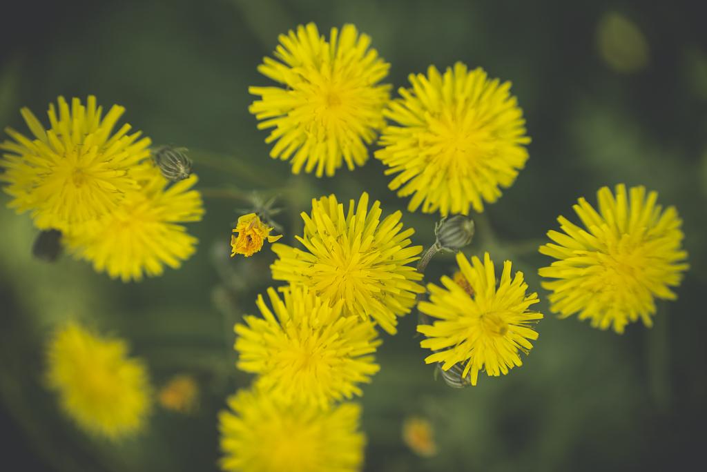 Printemps au jardin – fleurs jaunes - Photographe Haute Garonne
